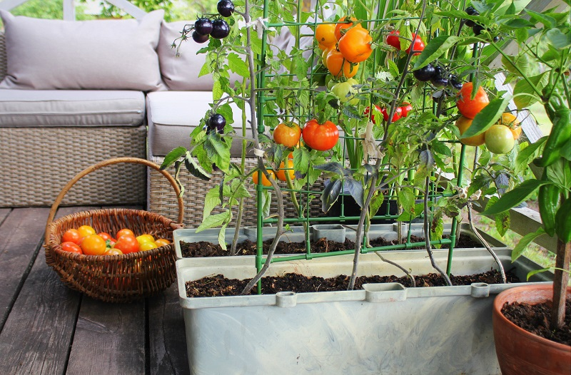 a home-grown tomato plant on the patio
